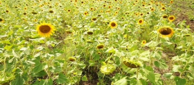 A flourishing sunflower garden